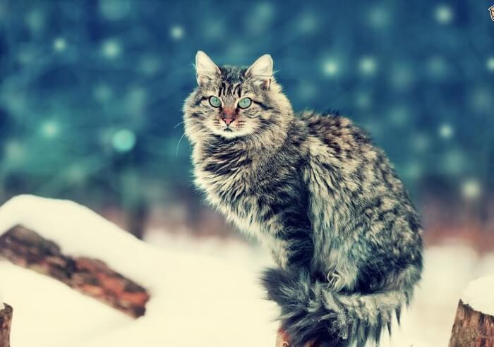 All Wild Cats Breeds