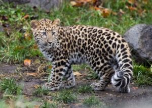 Amur Leopard 300x214 - Rare Animals Nearly Impossible to See in the World
