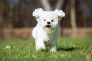 Bichon Frise 300x200 - 13+ Smallest Dogs in the World: Smallest Dog Breeds
