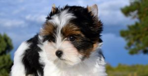 Biewer Terrier 300x155 - 13+ Smallest Dogs in the World: Smallest Dog Breeds