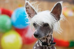 Chinese Crested Dog 300x200 - 13+ Smallest Dogs in the World: Smallest Dog Breeds