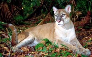 Florida Panther 300x187 - Rare Animals Nearly Impossible to See in the World