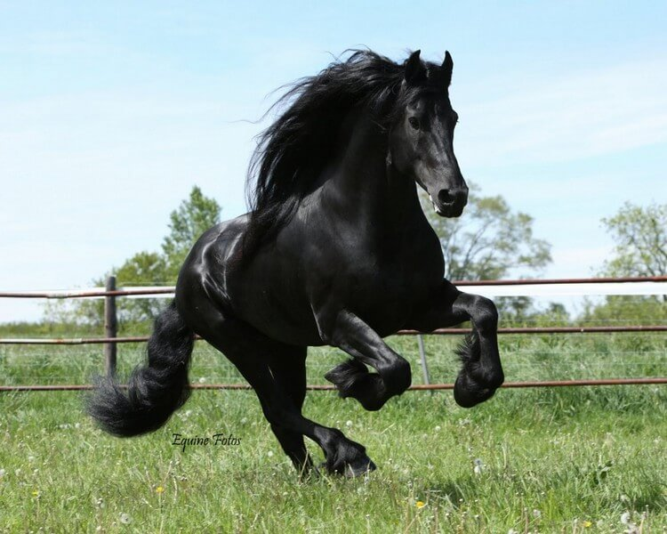 Friesian - Most Expensive Horse Breeds in the World 2018