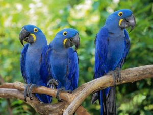 Glaucous Macaw 300x225 - Rare Animals Nearly Impossible to See in the World