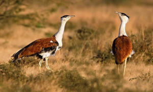 Great Indian Bustard 300x182 - Rare Animals Nearly Impossible to See in the World