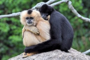 Hainan Gibbon 300x200 - Rare Animals Nearly Impossible to See in the World
