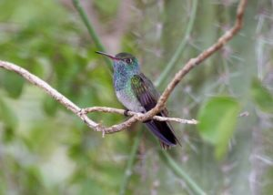 Honduran Emerald 300x214 - Rare Animals Nearly Impossible to See in the World