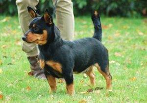 Lancashire Heeler 300x212 - 13+ Smallest Dogs in the World: Smallest Dog Breeds
