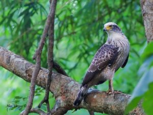 Madagascar Serpent Eagle 300x225 - Rare Animals Nearly Impossible to See in the World