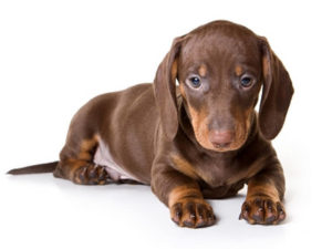 Miniature Dachshund 300x225 - 13+ Smallest Dogs in the World: Smallest Dog Breeds