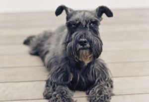 Miniature Schnauzer 300x205 - 13+ Smallest Dogs in the World: Smallest Dog Breeds
