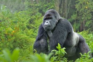 Mountain Gorilla 300x200 - Rare Animals Nearly Impossible to See in the World