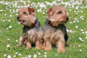 Norfolk Terrier 300x200 - 13+ Smallest Dogs in the World: Smallest Dog Breeds