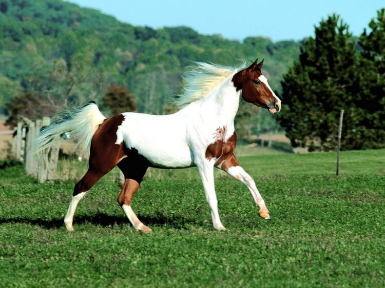 Paint Horse - Most Expensive Horse Breeds in the World 2018