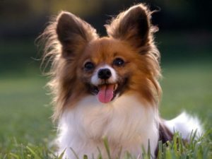 Papillon 300x225 - 13+ Smallest Dogs in the World: Smallest Dog Breeds