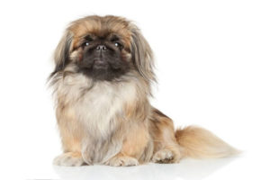Pekingese 300x200 - 13+ Smallest Dogs in the World: Smallest Dog Breeds