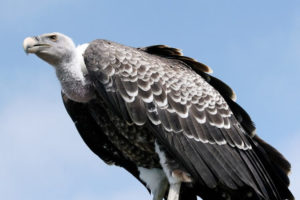 Ruppell's Vulture 300x200 - Rare Animals Nearly Impossible to See in the World