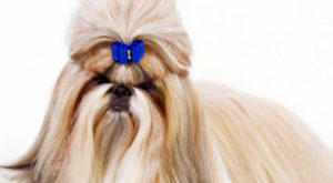 Shih Tzu 300x165 - 13+ Smallest Dogs in the World: Smallest Dog Breeds