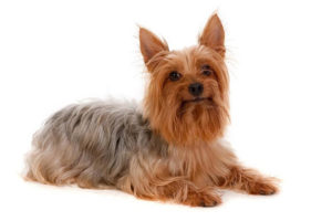 Silky Terrier 300x200 - 13+ Smallest Dogs in the World: Smallest Dog Breeds