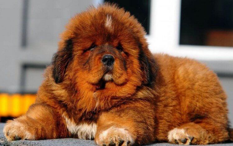 Tibetan Mastiff - Top Most Expensive Pets in the World 2018: Most Adorable Pets