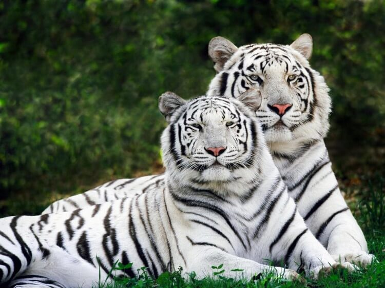 White Bengal Tiger - Top Most Expensive Pets in the World: Most Adorable Pets