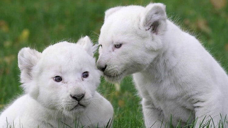 White Lion Cubs - Top Most Expensive Pets in the World: Most Adorable Pets