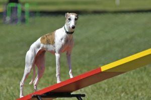 Mini Travel Teeter 300x199 - Best Dog Agility Equipment Kits - A Complete Guide