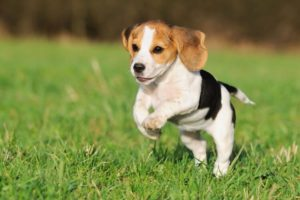 Beagle 300x200 - Top 10 Most Popular Dog Breeds in the World