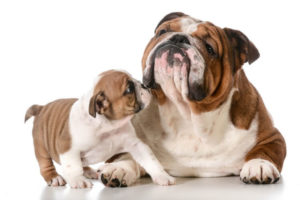 English Bulldog 300x200 - Top 10 Most Popular Dog Breeds in the World