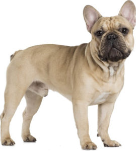French Bulldog 270x300 - Top 10 Most Popular Dog Breeds in the World