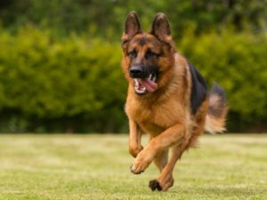 German Shepherd Dog 300x225 - Top 10 Most Popular Dog Breeds in the World