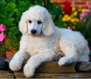 Poodle 300x261 - Top 10 Most Popular Dog Breeds in the World