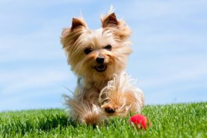Yorkshire Terrier 300x200 - Top 10 Most Popular Dog Breeds in the World