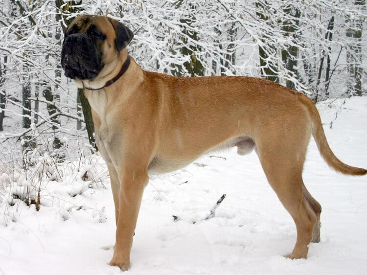 Bullmastiff 1 - Top 10 Most Dangerous Dogs in the World