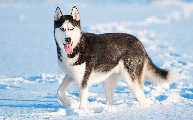 Husky 2 - Top 10 Most Dangerous Dogs in the World