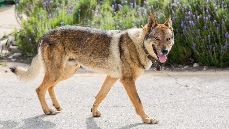 Wolfdog - Top 10 Most Dangerous Dogs in the World